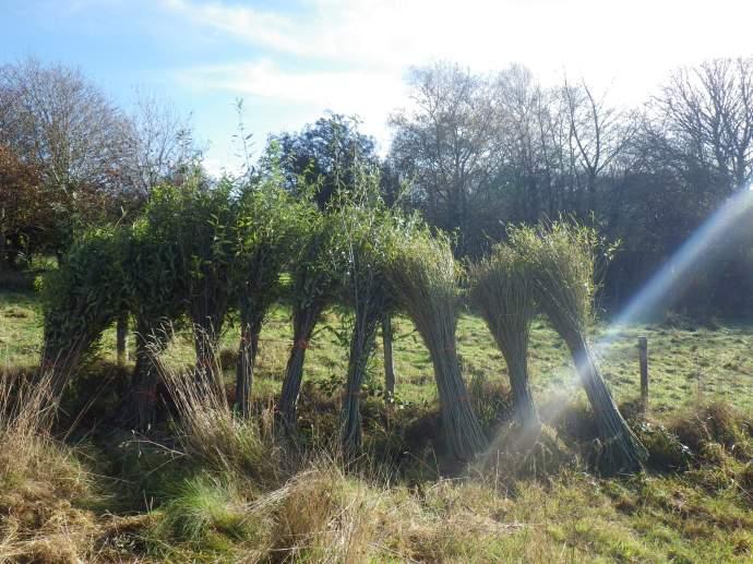 Bundles of Willow