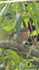 A Chaffinch lurking...