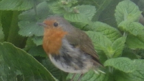 ...and a Robin not bob-bob-bobbin'.