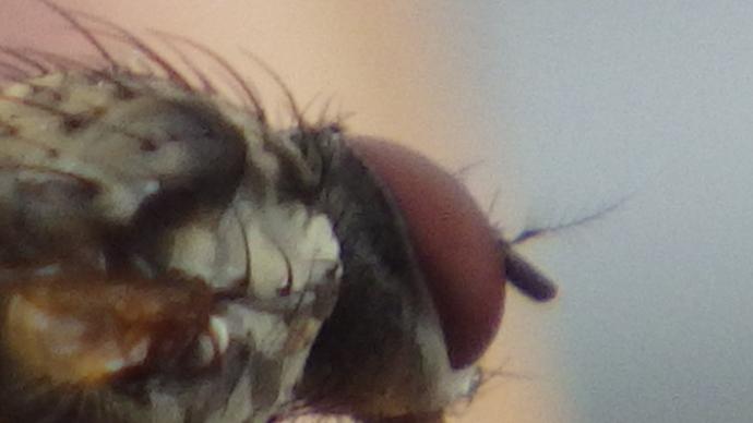 Fuzzy Fly